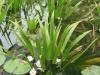 Kolokán (Stratoides Aloides)