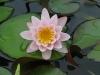 Tavi rózsa (Nymphaea Pink Sensation)