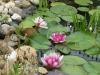 Tavi rózsa (Nymphaea Attraction)
