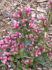 Vörös levelű rózsalonc (Weigela fl. 'Alexandra')