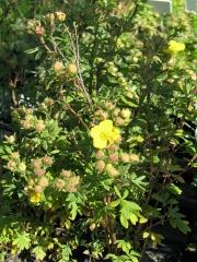 Sárga virágú törpe cserjés pimpó (Potentilla fr. Kobold)