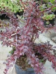 Japán vérborbolya (Berberis th. 'Carmen')