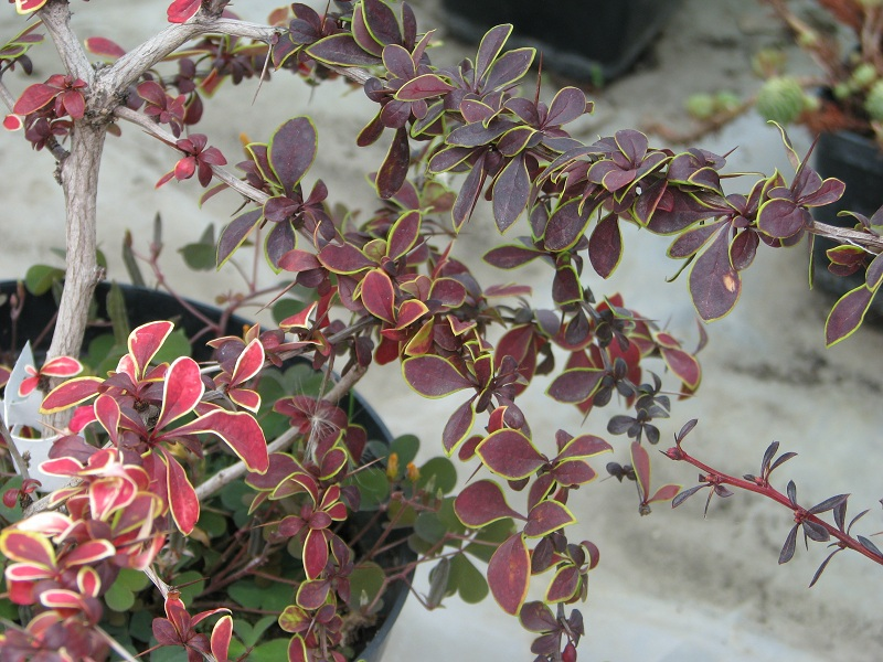 Japán vérborbolya (Berberis th. 'Coronita')