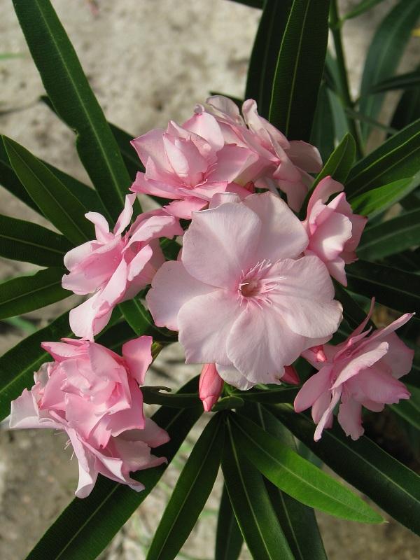 Rózsaszín pirosszélű telt virágú leander