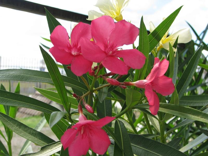 Sötét ciklámen szimpla virágú leander