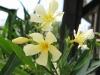 Sárga szimpla virágú leander