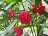 Sötét piros szimpla virágú leander