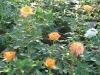 Mini rózsa