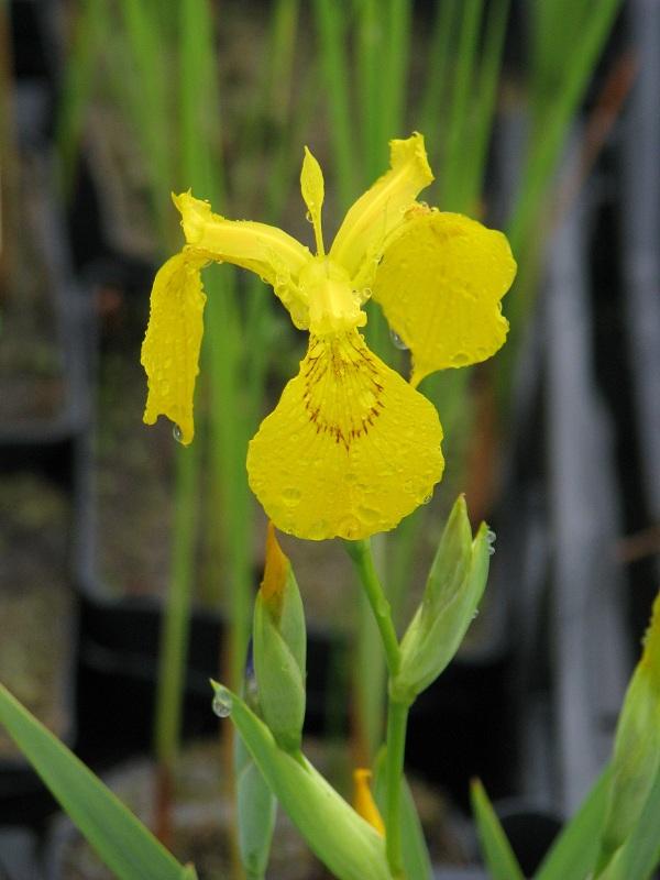 Mocsári nőszirom, Mocsári írisz (Iris pseudacorus)