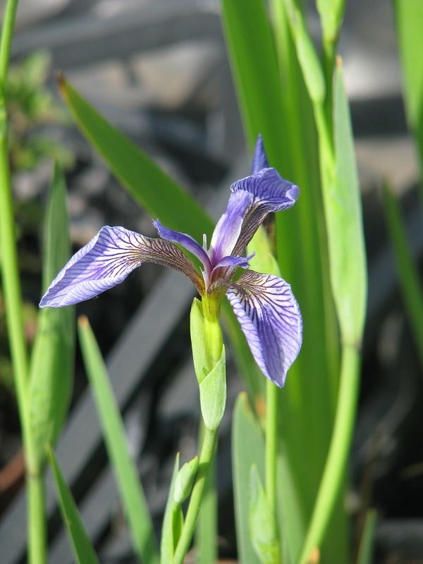 Szibériai nőszirom (Iris sibirica)