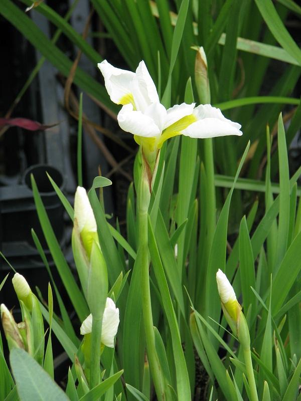 Szibériai nőszirom (Iris sibirica 'Snow Queen')