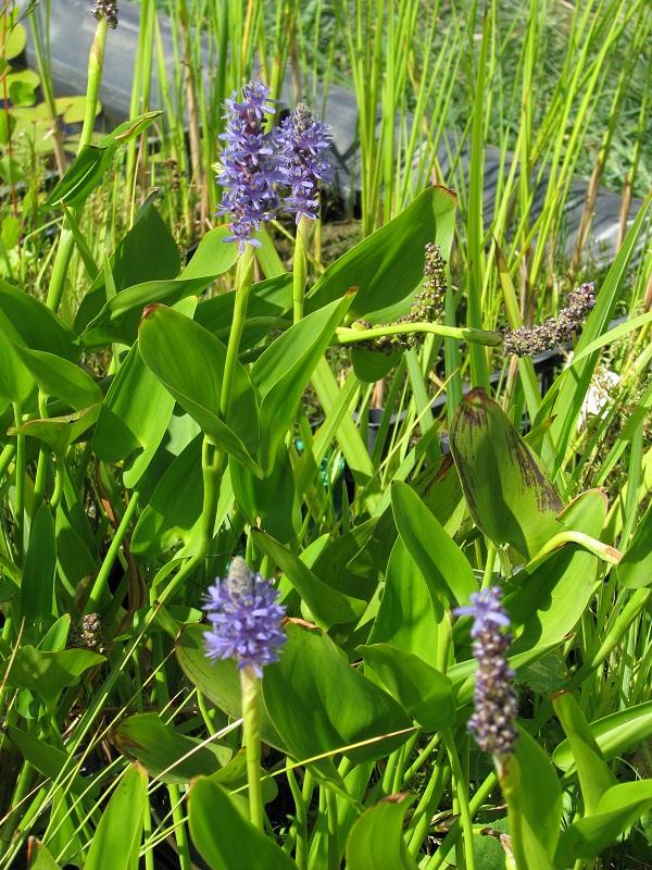 Sellővirág (Pontederia lanceolata)