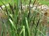Fekete sás (Carex nigra)