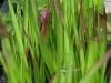 Vöröslevelű alangfű (Imperata cylindrica \'Red Baron\' )