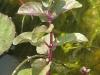Vízi menta (Mentha aquatica)
