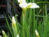Szibériai nőszirom (Iris sibirica \'Snow Queen\')