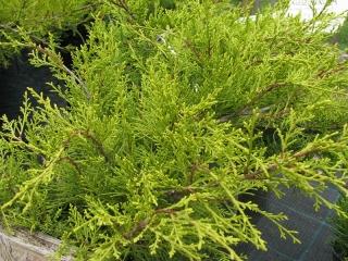 Sárga levelű kúszóboróka (Juniperus media 'Old gold')
