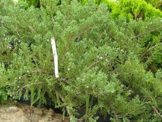 Tiszakürt kúszóboróka (Juniperus sabina 'Tiszakürt')