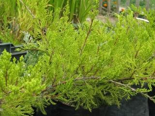 Tamariska levelű kúszóboróka (Juniperus Sabina 'Tamariscifolia')