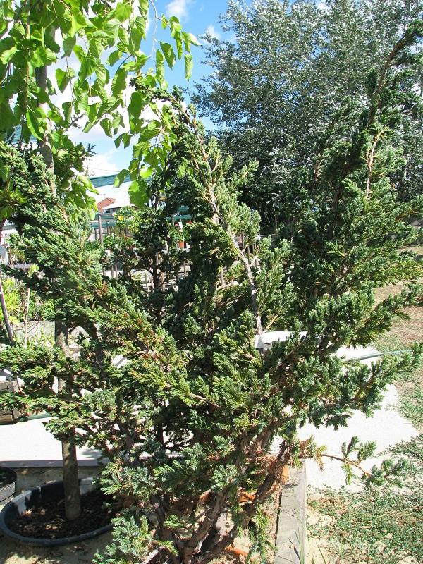 Meyeri himalájai boróka (Juniperus squam. 'Meyeri')