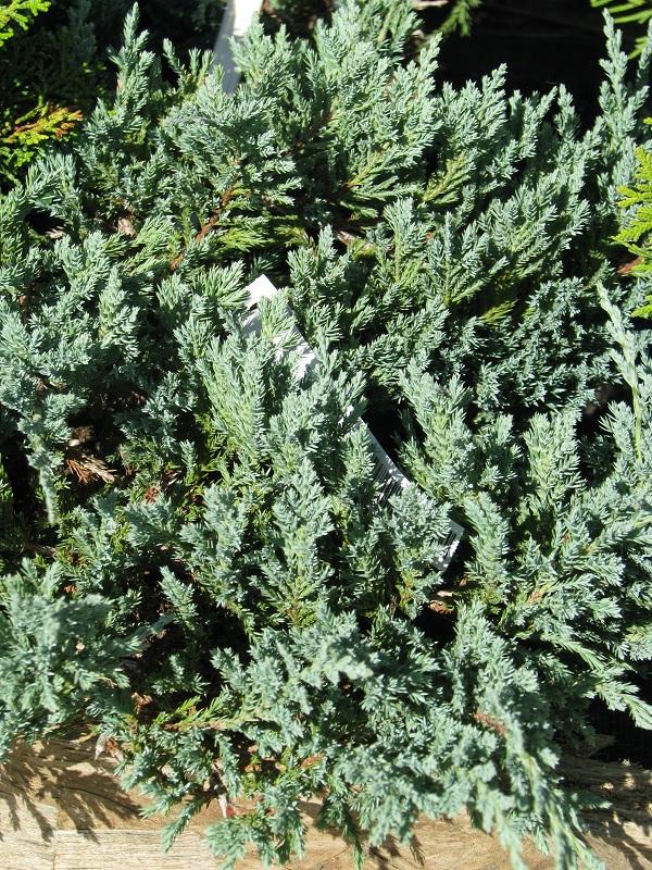 Kék henyeboróka (Juniperus hor. 'Blue Chip')