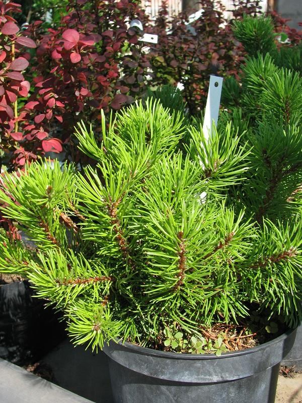 Törpefenyő (Pinus mugo)