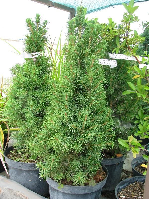 Cukorsüvegfenyő (Picea glauca 'Conica')