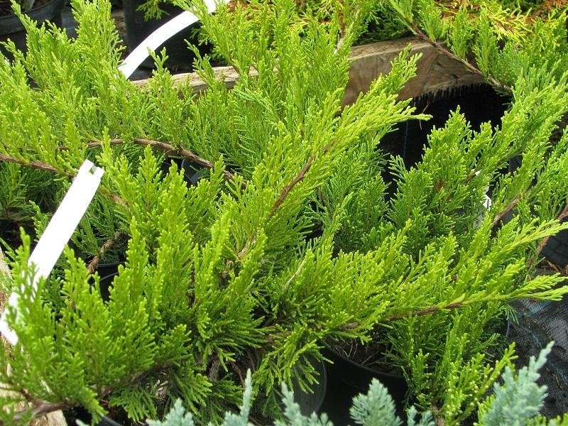 Kékes levelű kúszóboróka (Juniperus hor. 'Wiltonii')