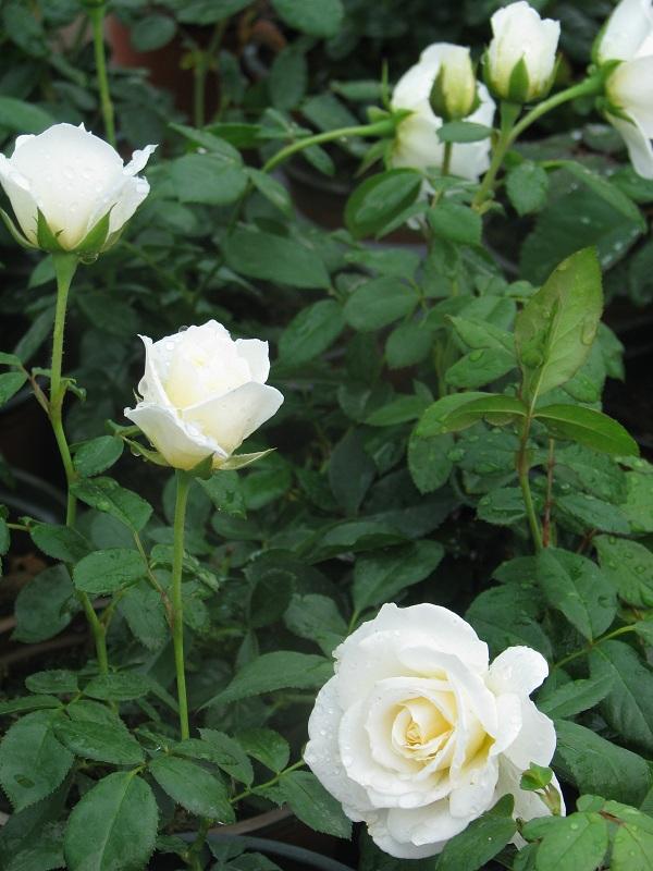 Park rózsa