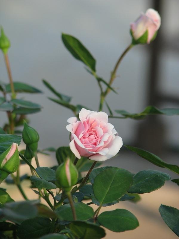 Rózsa fajták