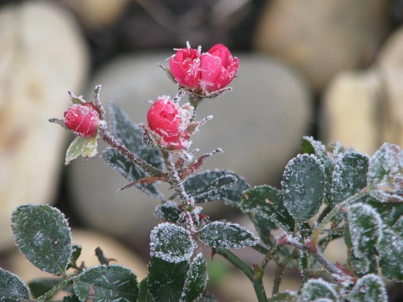 Jégszilánkos talajtakaró rózsa