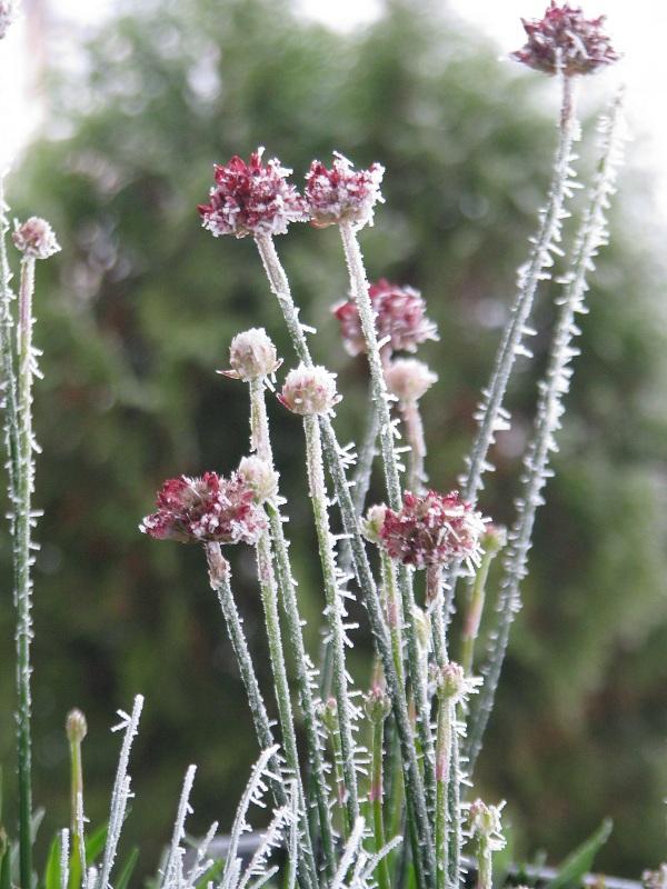 Pázsitszegfű télen