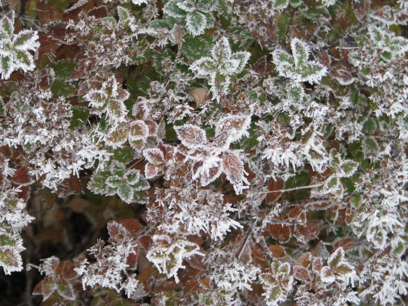 Gyöngyvessző téli színekben