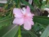 Pasztell rózsaszín telt
