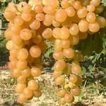 Afuz Ali szőlő