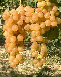 Így ültessünk gyökeres szőlőoltványt!