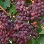 Anita szőlő