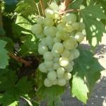 Attila szőlő