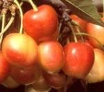 Bigarreau Napoleon cseresznyefa