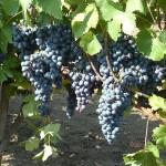 Birókék szőlő