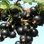 Dorottya fekete ribiszke