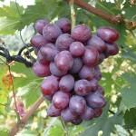 Dunaw szőlő