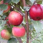 termő gyümölcsfa