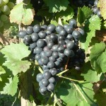 Eszter szőlő