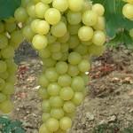 Favorit szőlő