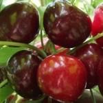 Germersdorfi cseresznyefa