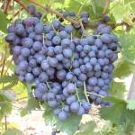 Hamburgi muskotály szőlő