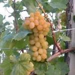 Helikon szépe szőlő