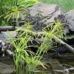Vízi pálma (Cyperus longus)