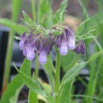Fekete nadálytő (Symphytum officinalis)